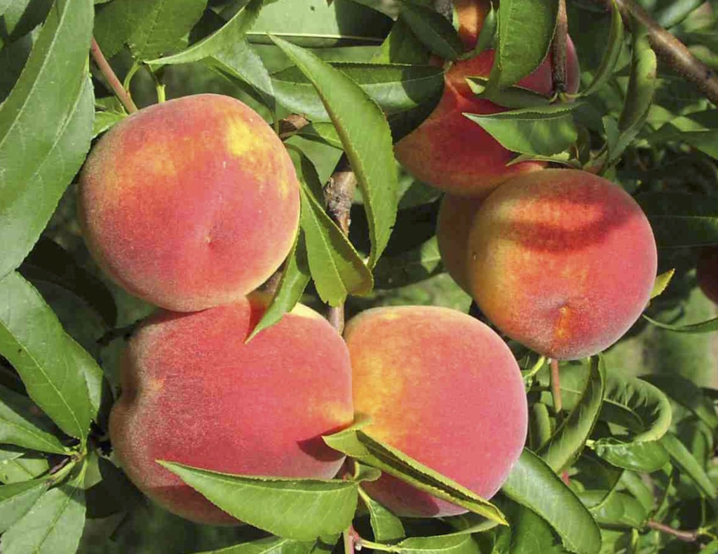 13.6 image peaches on tree